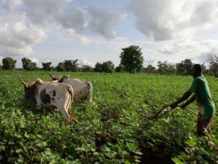 Afrika Tiss_Burkina Faso_Blog_Coton Culteur_Coton biologique, OGM